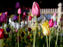 Small screenshot 3 of Colonial Williamsburg Flowers