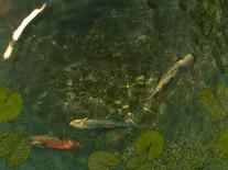 Koi fish 3d screensaver for windows screensavers planet for Koi pond screensaver