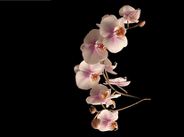 Small screenshot 2 of Orchids