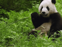 Screenshot of Sweet Panda Bear